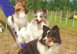 agility dream dogs